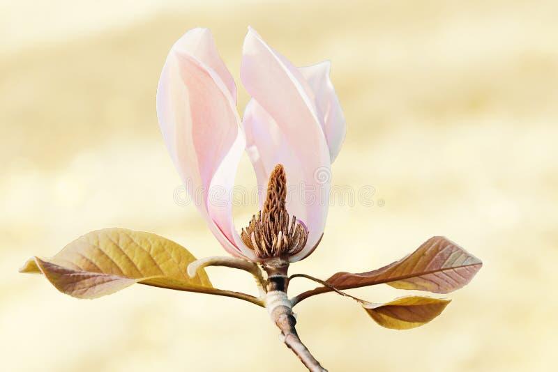 Fleur d'isolement de magnolia photographie stock libre de droits