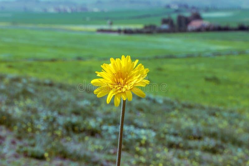 Fleur d'isolement de pissenlit dans le domaine images stock
