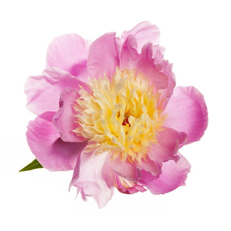 Fleur d'isolement de pivoine image libre de droits