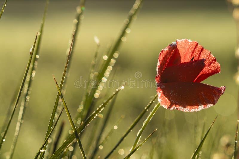 Fleur d'isolement rouge de pavot en fleur sur la rosée humide de matin éclairée à contre-jour sur une fin de paysage de lever de  photographie stock