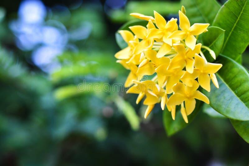 Fleur d'Ixora/fleur jaune de fleur d'Ixora dans un jardin - fleur de transitoire photos libres de droits