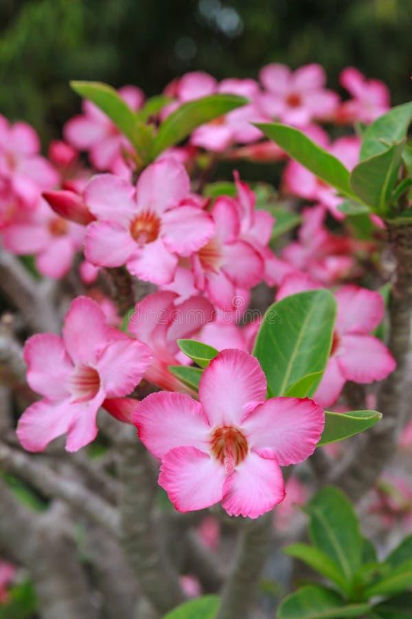 Fleur d'Obesum d'Adenium photo stock