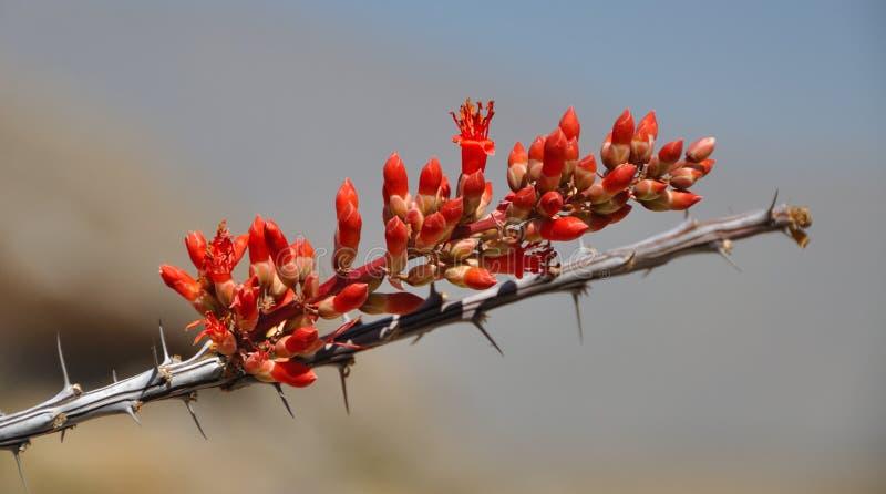 Fleur d'Ocotillo en fleur photo stock