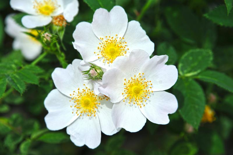 Fleur d'odorata de Rosa images libres de droits