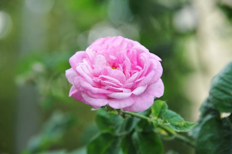 Fleur d'odorata de Rosa photographie stock libre de droits