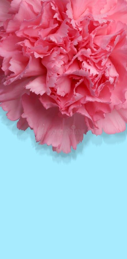 Fleur d'oeillet avec le chemin photos stock