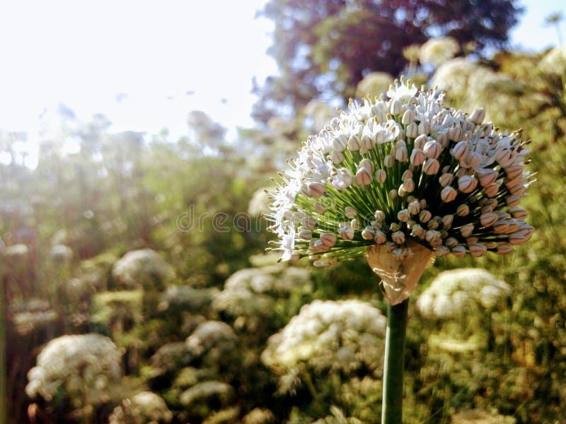Fleur d'oignon image libre de droits