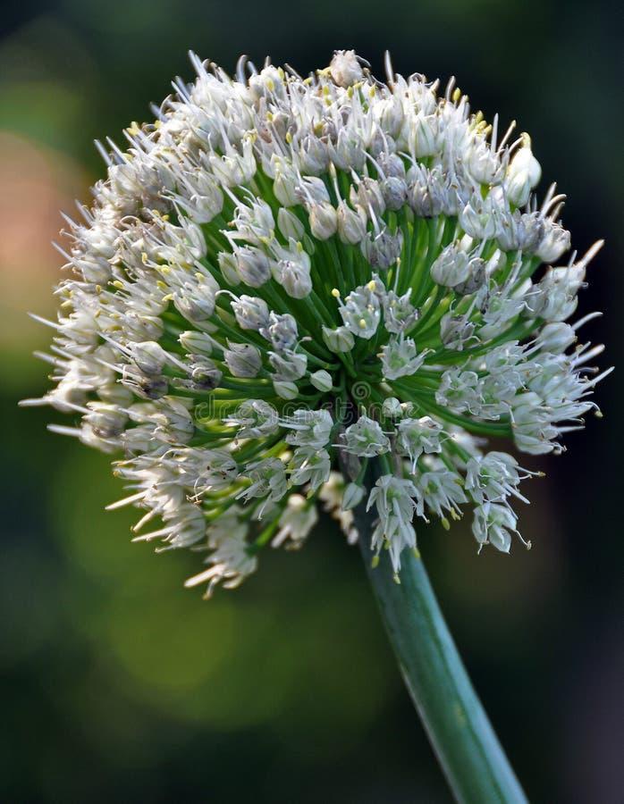 fleur d 39 oignon image stock image du nature oignon graine 9772705. Black Bedroom Furniture Sets. Home Design Ideas