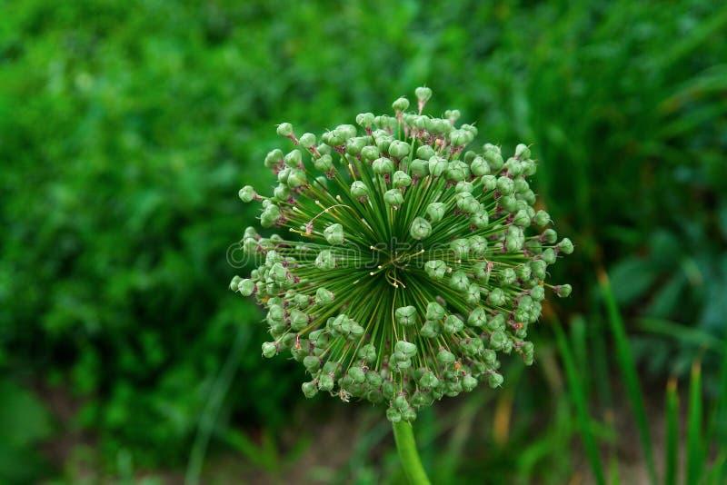 Fleur d'oignon d'Alliaceae dans la ferme de jardin image stock