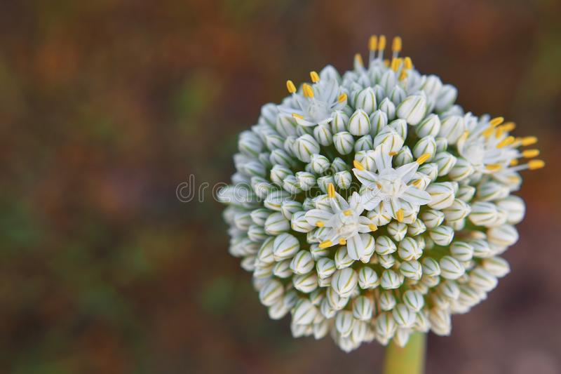 Fleur d'oignon dans la forme globulaire images stock