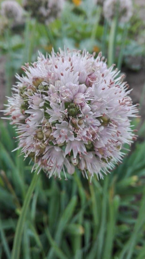 Fleur d'oignon d'hiver images libres de droits