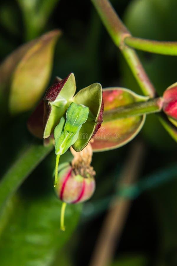 Fleur d'oiseau d'amour (chok numérique de NOK NOI, nom thaïlandais de fleur) images stock