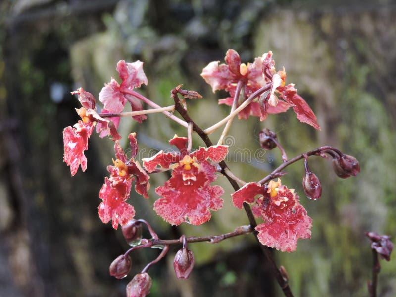 Fleur d'Oncidium images stock