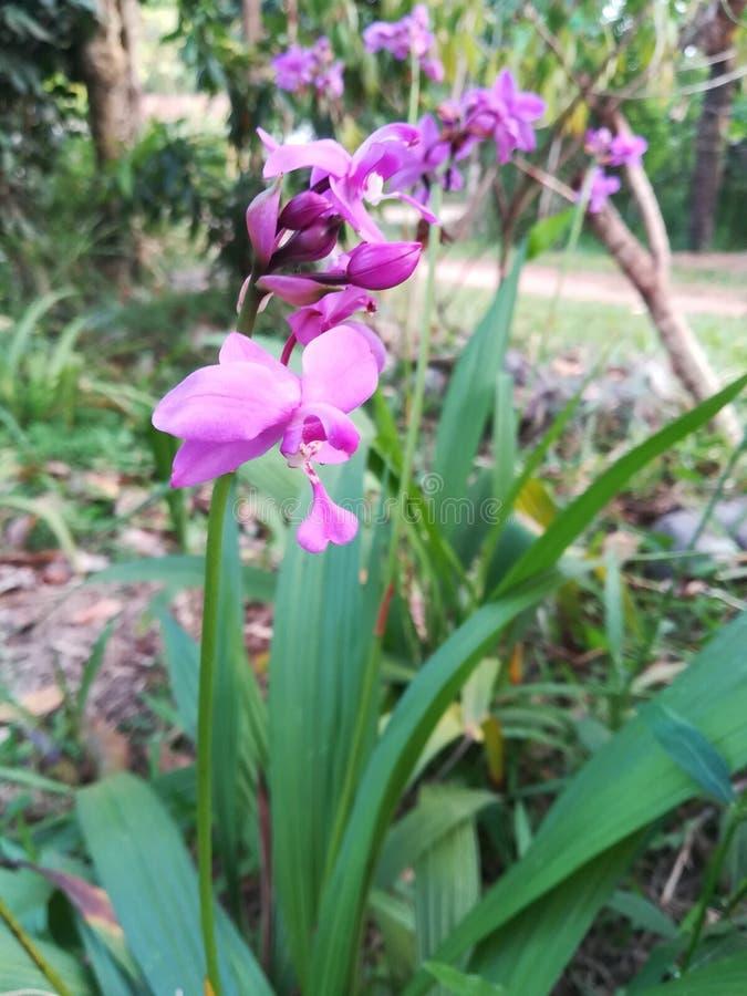 Fleur d'orchidée au Sri Lanka photo stock