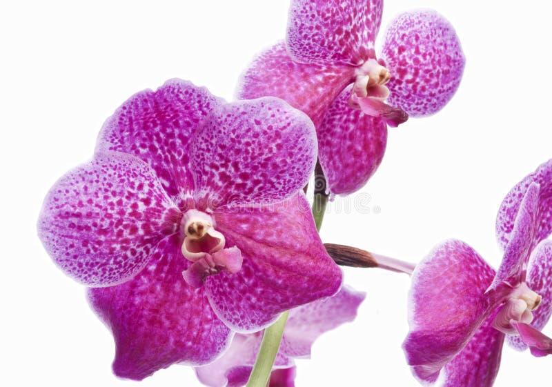 Fleur d'orchidée de floraison image libre de droits