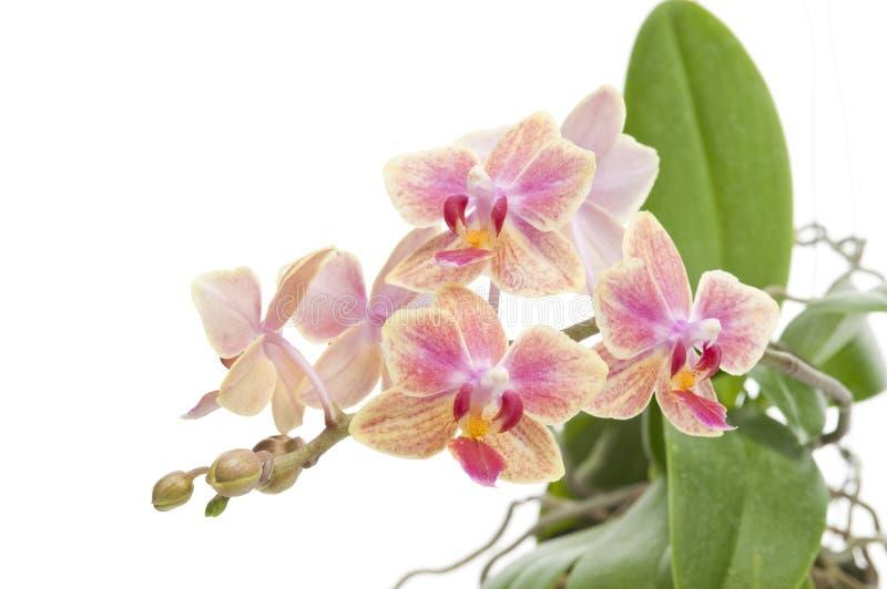 Fleur d'orchidée de floraison de phalaenopsis images libres de droits