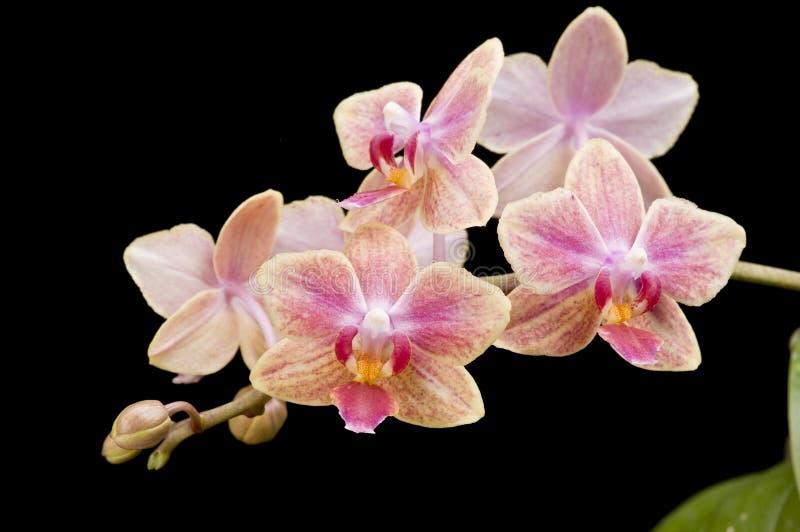 Fleur d'orchidée de floraison de phalaenopsis photos stock