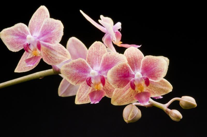 Fleur d'orchidée de floraison de phalaenopsis photo stock