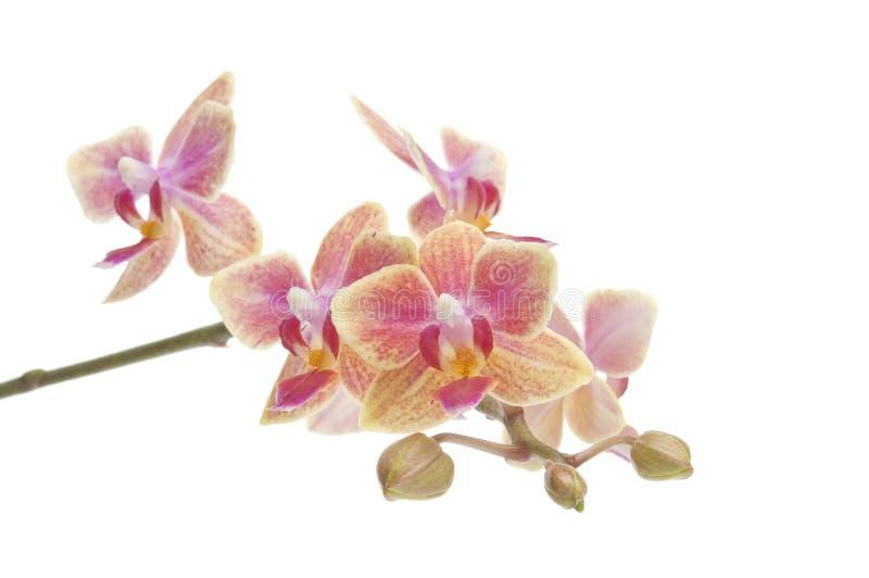 Fleur d'orchidée de floraison de phalaenopsis photos libres de droits