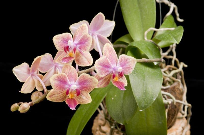 Fleur d'orchidée de floraison de phalaenopsis photographie stock