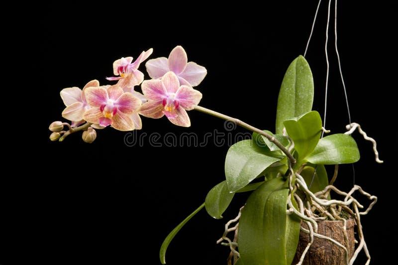 Fleur d'orchidée de floraison de phalaenopsis photographie stock libre de droits