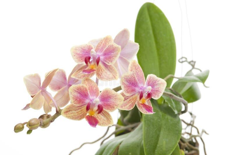Fleur d'orchidée de floraison de phalaenopsis photo libre de droits