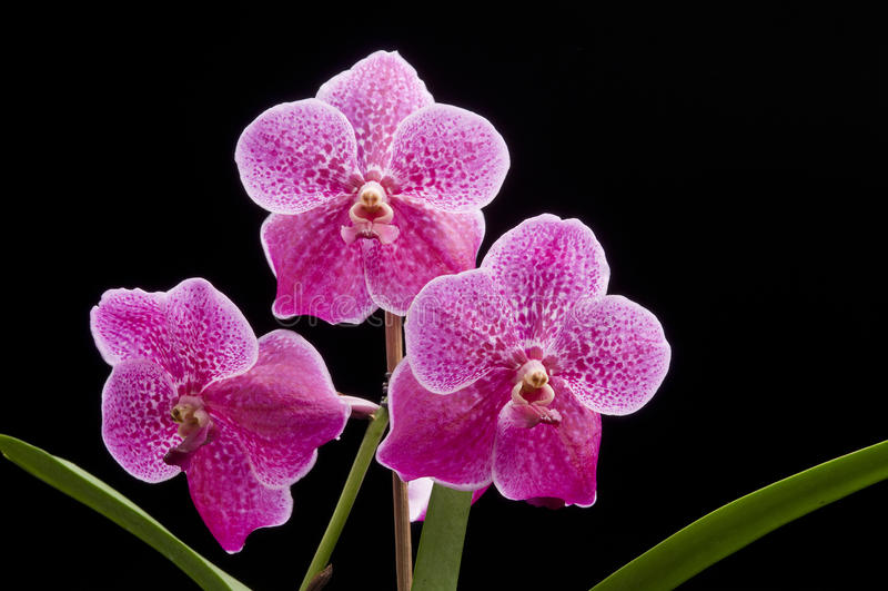Fleur d'orchidée de floraison de Vanda photographie stock libre de droits