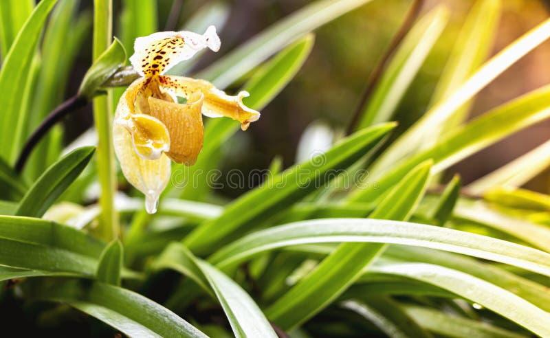 Fleur d'orchidée de Paphiopedilum ou orchidée à napperons de Lady, dont les fleurs ont une lèvre qui est une poche en forme de gl images libres de droits
