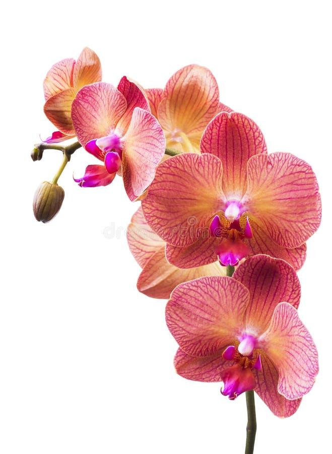 Fleur d'orchidée striée par rose images stock