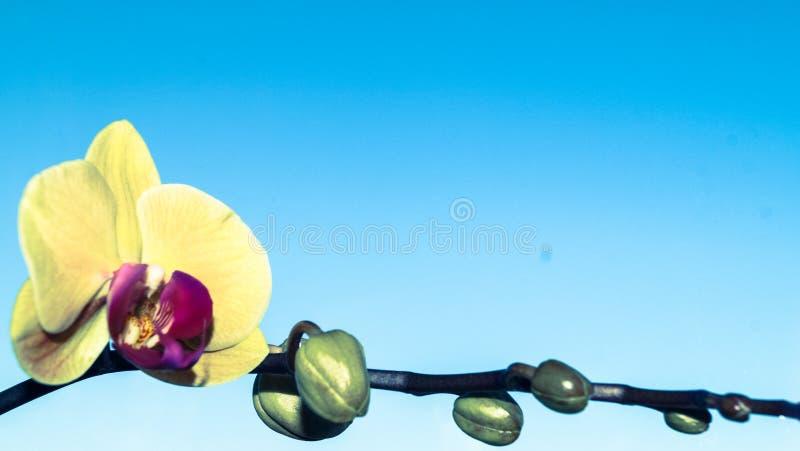 Fleur d'orchidée sur la branche bleue de fond photo libre de droits