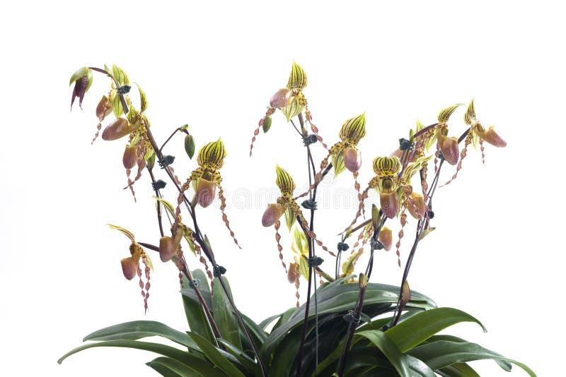 Fleur d'orchidées de Paphiopedilum photos libres de droits