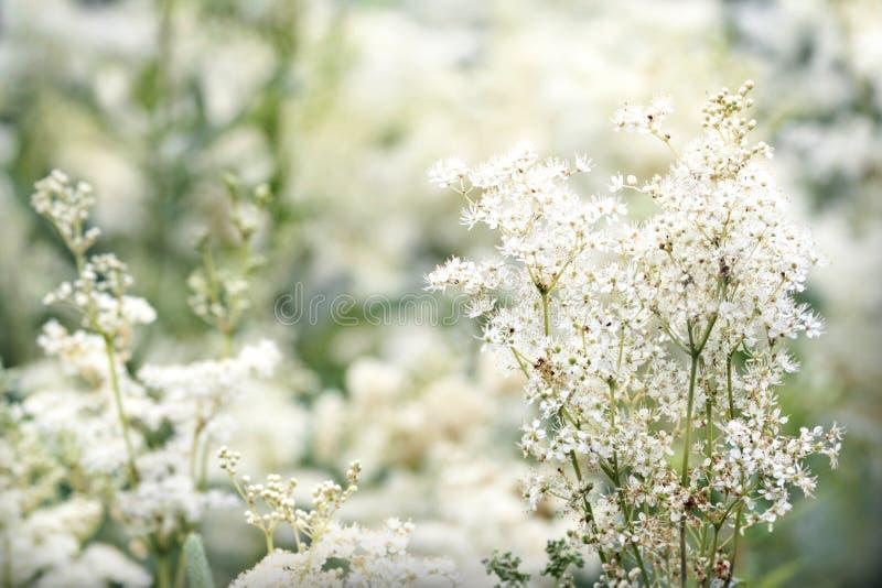 Fleur d'ulmaria de Filipendula photos stock