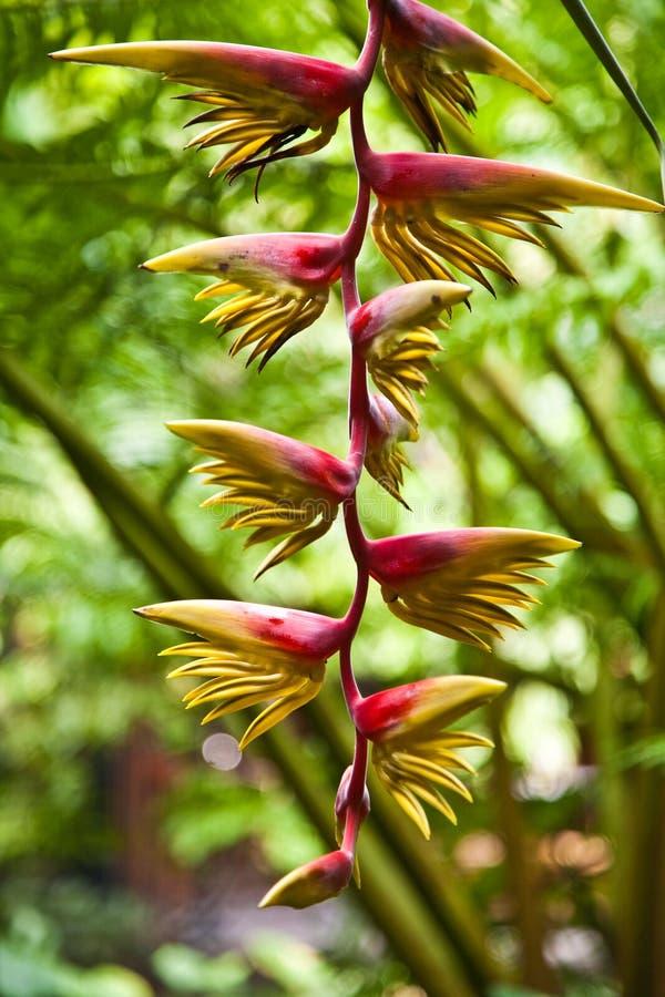 Fleur d'un bananier images libres de droits