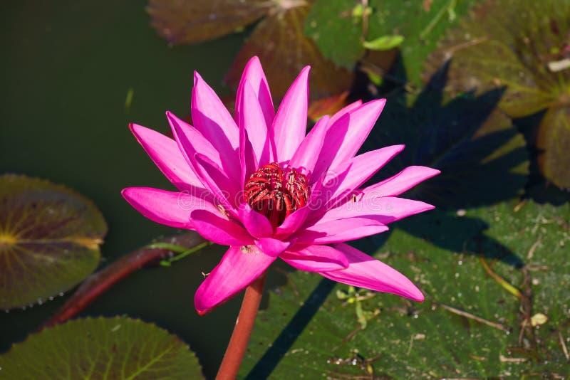 Download Fleur D'un Nénuphar De Rubra Rouge De Nymphaea Dans Un étang Asie Du Sud-Est Les Personnes De Kayan Sont Un Sous-groupe Des Pers Photo stock - Image du indien, thailand: 87706912