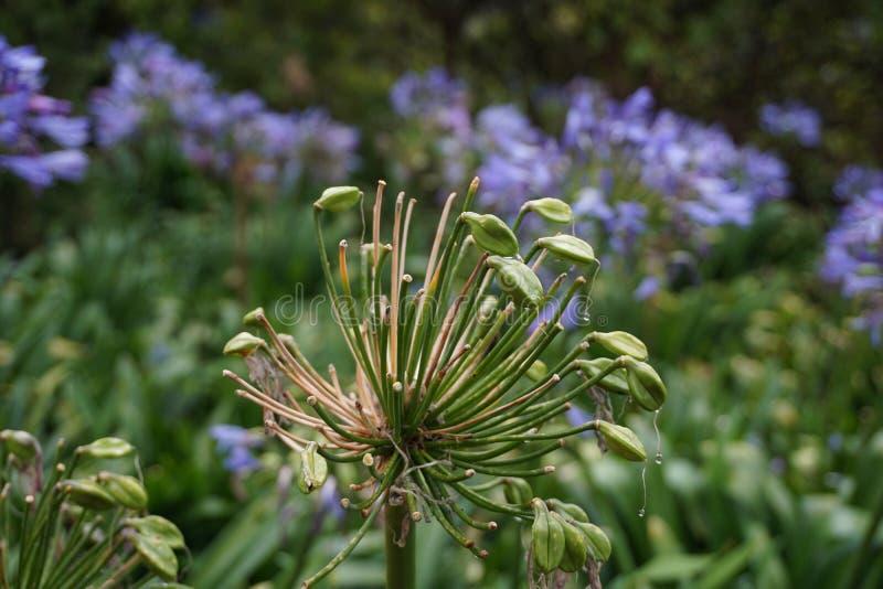 Fleur d'Unbloomed après pluie photo stock