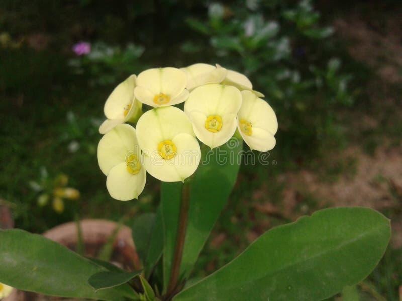 Fleur d'usine de cactus photographie stock libre de droits