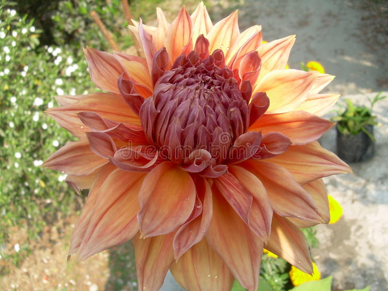 Fleur Dalia images stock