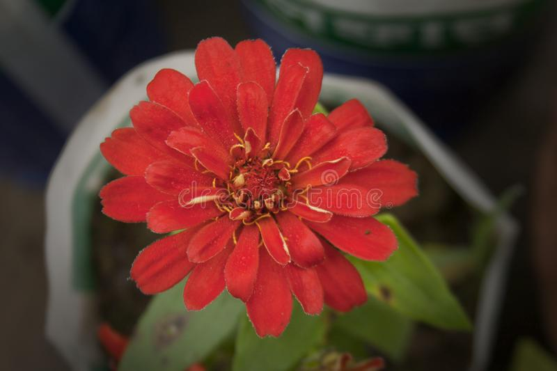 Fleur Dalia photo stock