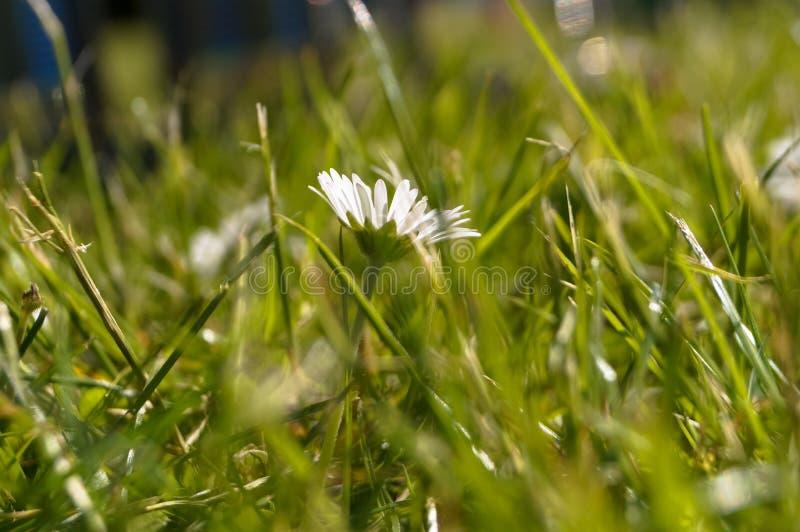 Fleur dans l'herbe image libre de droits