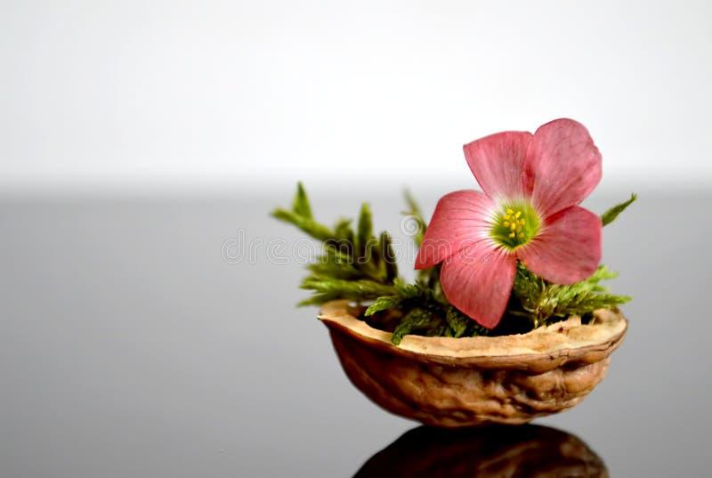 Fleur dans la coquille de noix photo libre de droits