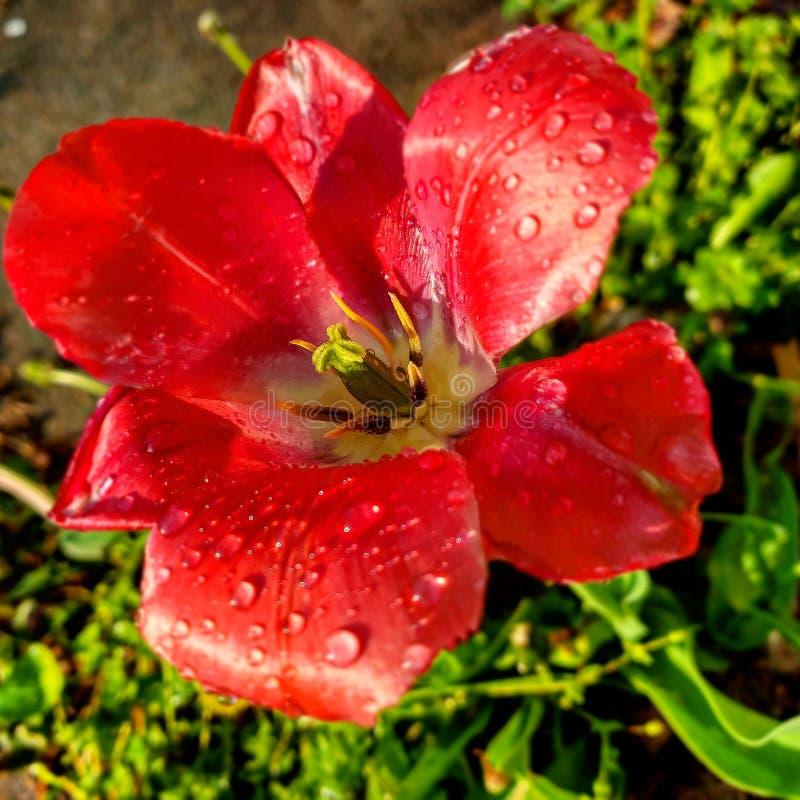 Fleur dans le lever de soleil, après pluie image stock