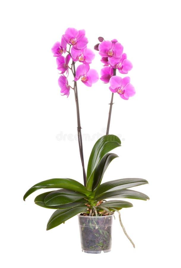 Fleur de bac d'orchidée photo libre de droits