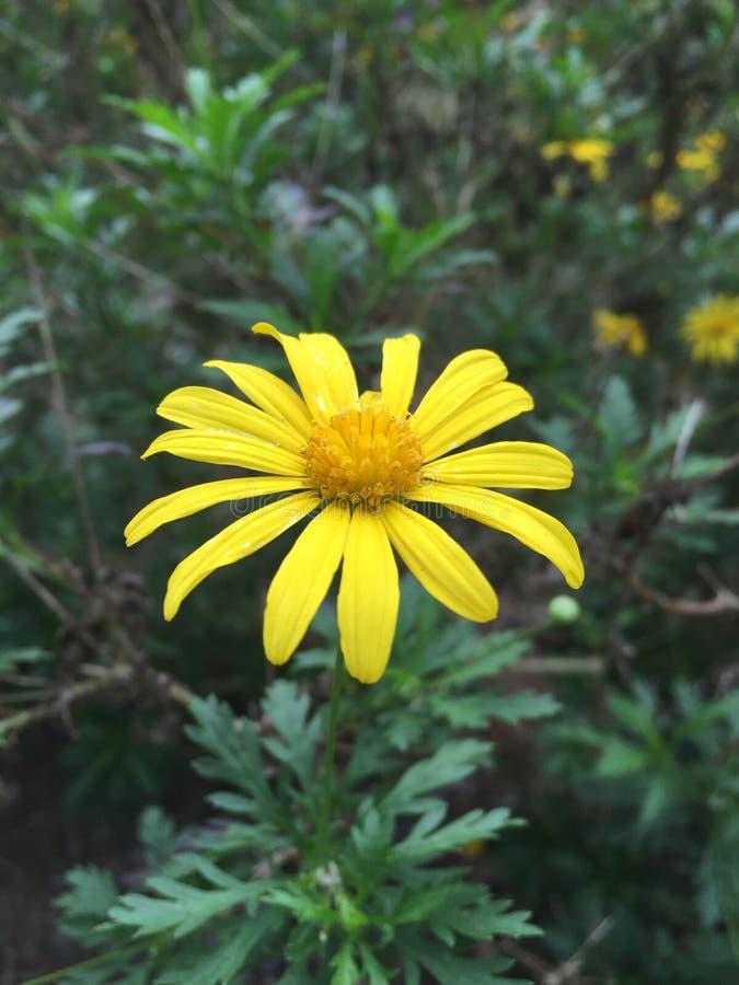 Fleur de Baguio images libres de droits