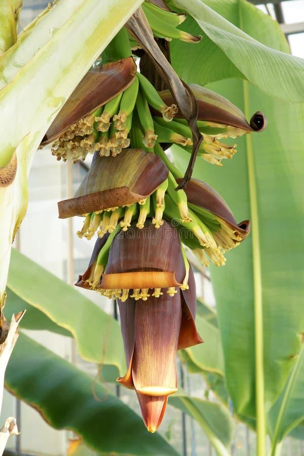 Fleur de banane images libres de droits