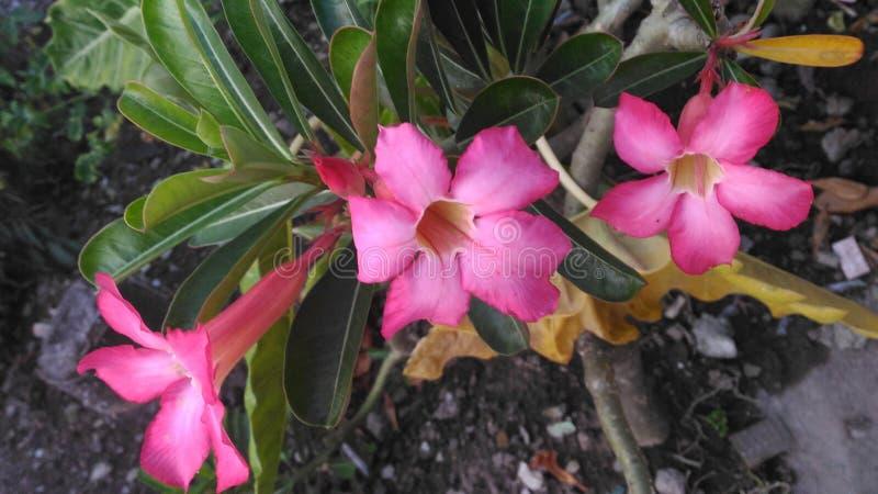 Fleur de Bangkok photo stock