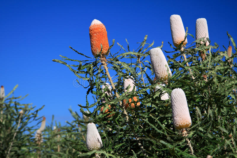 Fleur de Banksia, Wildflower, Australie occidentale photos libres de droits
