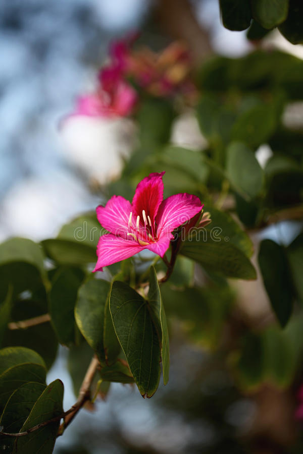 Fleur de Bauhinia photo stock