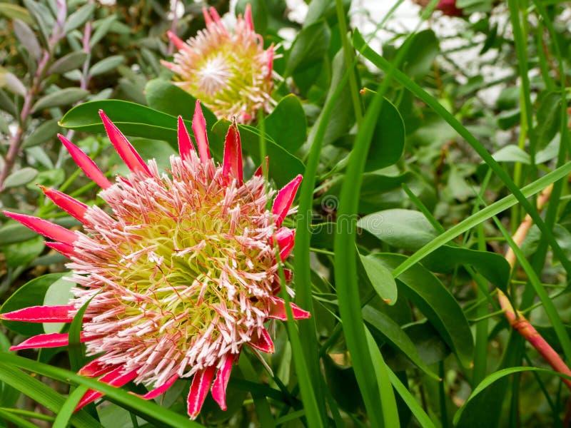Fleur de Beautyful : Orchidées ou Miltonopsis, photo stock