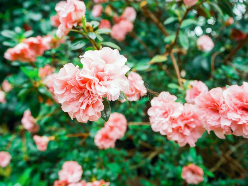 Fleur de Beautyful : Rhododendron photographie stock libre de droits