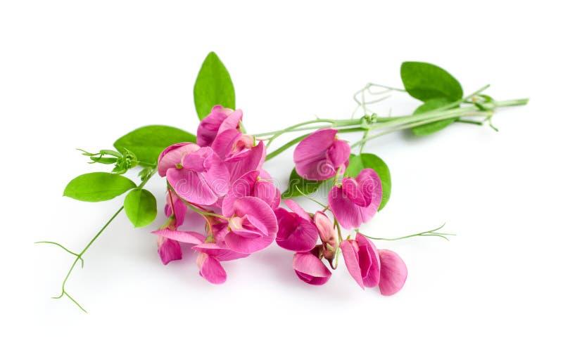Fleur de bec d'ancre doux photo libre de droits